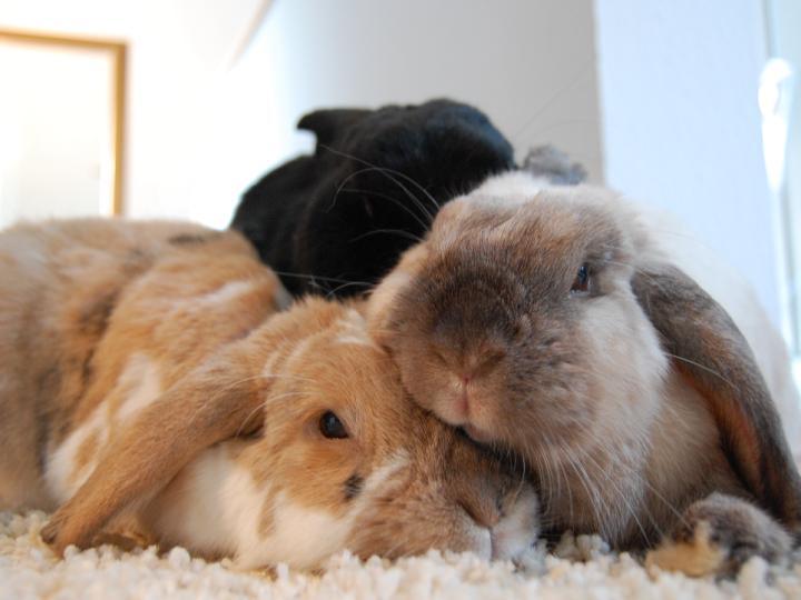 kaninchen artgerecht halten warum man kaninchen nicht alleine halten sollte. Black Bedroom Furniture Sets. Home Design Ideas
